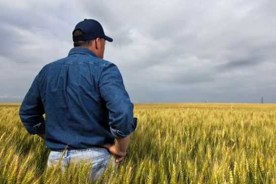 A royalty free image from the farming industry of a farmer standing in a wheatfield.